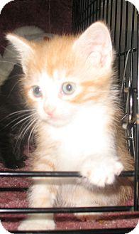 Domestic Shorthair Kitten for adoption in Acme, Pennsylvania - Corky