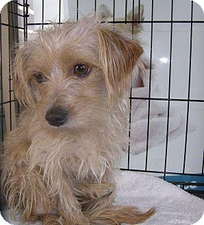 Cairn Terrier Mix Dog for adoption in Las Vegas, Nevada - Sammy
