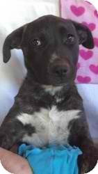 Shepherd (Unknown Type)/Labrador Retriever Mix Puppy for adoption in Anza, California - Zoro Pup #5