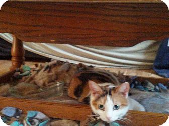 Domestic Shorthair Cat for adoption in london, Ontario - Feather