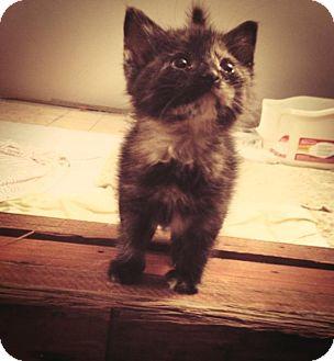 Domestic Shorthair Kitten for adoption in Chicago, Illinois - Moondancer