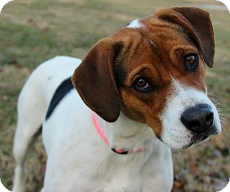 Beagle/Hound (Unknown Type) Mix Dog for adoption in Lewis Center, Ohio - CoCo