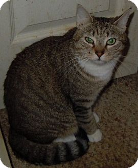 Domestic Shorthair Cat for adoption in Jacksonville, North Carolina - Slippers