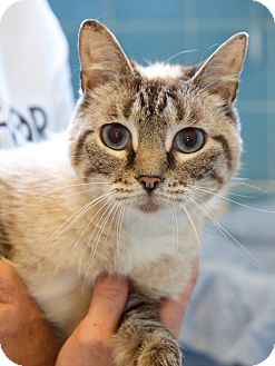 Siamese Cat for adoption in Knoxville, Tennessee - Keita (Declawed)