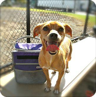 Chihuahua Mix Dog for adoption in El Cajon, California - Ellie