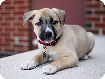 Shepherd (Unknown Type)/Husky Mix Puppy for adoption in Detroit, Michigan - Juno-Adopted!