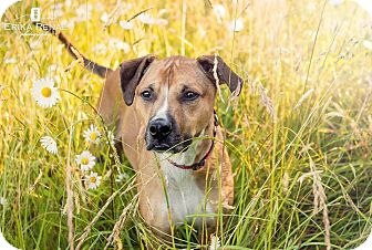 Boxer/Rhodesian Ridgeback Mix Dog for adoption in Vancouver, Washington - Korben