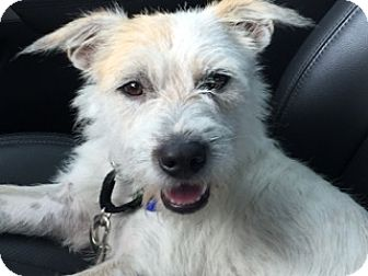 Wirehaired Fox Terrier Mix Dog for adoption in Austin, Texas - Gus McRae