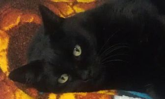 Domestic Shorthair Cat for adoption in Oakland, Oregon - Prince