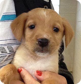Labrador Retriever Mix Puppy for adoption in Greensburg, Pennsylvania - Clay