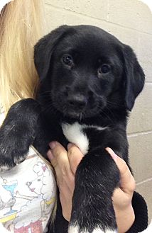Labrador Retriever/Beagle Mix Puppy for adoption in Greensburg, Pennsylvania - Cordelia and Calamity