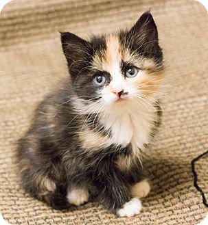 Calico Kitten for adoption in Chicago, Illinois - Jo