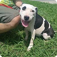 Adopt A Pet :: Mia *Adoption Pending* - Norman, OK