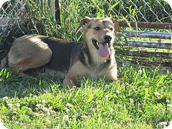 German Shepherd Dog/Feist Mix Dog for adoption in Liberty Center, Ohio - Zoa