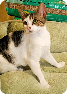 Domestic Shorthair Kitten for adoption in Tallahassee, Florida - Milkyway