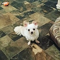 Chihuahua Dog for adoption in Indianapolis, Indiana - Cricket