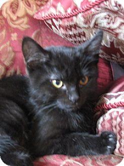 Domestic Shorthair Kitten for adoption in Walnut Creek, California - Harry (armpit)