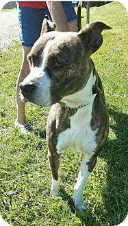 Boxer Mix Dog for adoption in Zanesville, Ohio - Nova - ADOPTED!
