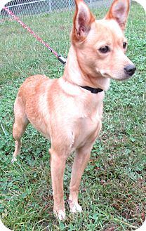 Chihuahua/Terrier (Unknown Type, Small) Mix Dog for adoption in Reeds Spring, Missouri - Lillith