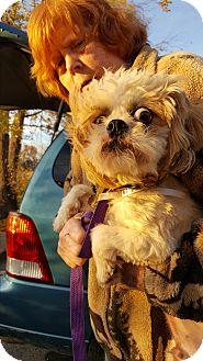 Lhasa Apso/Shih Tzu Mix Dog for adoption in Loudonville, New York - Jack