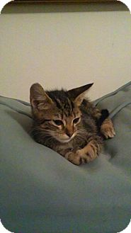 Domestic Shorthair Kitten for adoption in Tampa, Florida - Bam Bam