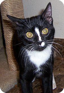 Manx Cat for adoption in Oklahoma City, Oklahoma - Eevee