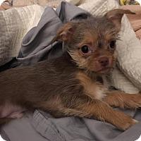 Maltese/Chihuahua Mix Dog for adoption in Marrero, Louisiana - Bach
