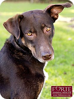 Labrador Retriever/Australian Cattle Dog Mix Dog for adoption in Marina del Rey, California - Nena