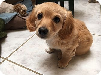 Chihuahua/Spaniel (Unknown Type) Mix Puppy for adoption in San Diego, California - Misty