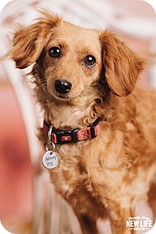 Dachshund/Cocker Spaniel Mix Dog for adoption in Portland, Oregon - Jenna