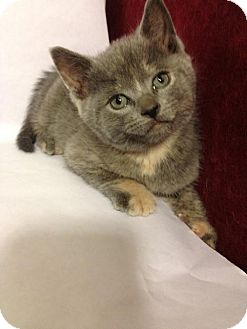 Domestic Shorthair Kitten for adoption in Marlton, New Jersey - Shebas kitten