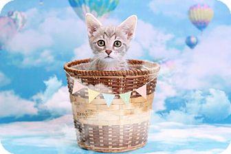 Domestic Shorthair Kitten for adoption in Sterling Heights, Michigan - Nikki PENDING ADOPTION