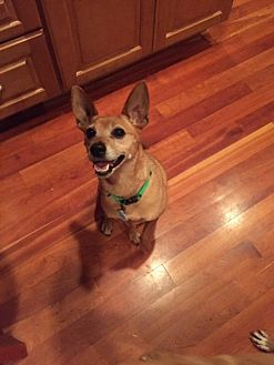 Chihuahua/Jack Russell Terrier Mix Dog for adoption in Barnegat, New Jersey - Piper *Adopted!