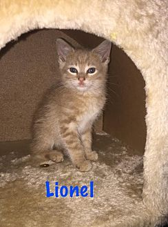 Domestic Shorthair Kitten for adoption in Island Park, New York - Lionel