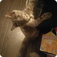 Domestic Longhair Cat for adoption in Dallas, Texas - Loki