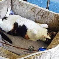 Domestic Shorthair Cat for adoption in Lathrop, California - Tiki