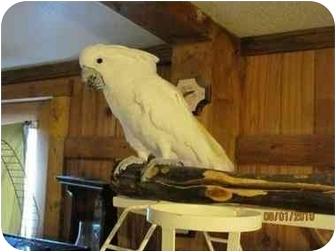 Cockatoo for adoption in Lenexa, Kansas - Walter