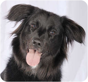Border Collie Mix Dog for adoption in Chicago, Illinois - Indy