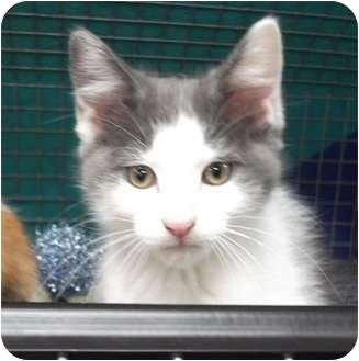 Domestic Shorthair Kitten for adoption in Wheaton, Illinois - Jimmy