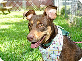 Doberman Pinscher Mix Dog for adoption in Bradenton, Florida - Jossie