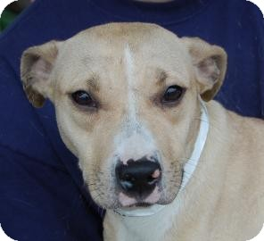 Pit Bull Terrier Mix Dog for adoption in Brooklyn, New York - September