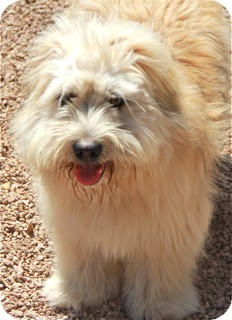Wheaten Terrier/Lhasa Apso Mix Dog for adoption in Norwalk, Connecticut - Bradley - adoption pending