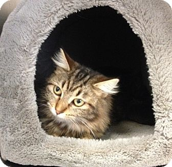 Domestic Mediumhair Cat for adoption in South Haven, Michigan - Tish