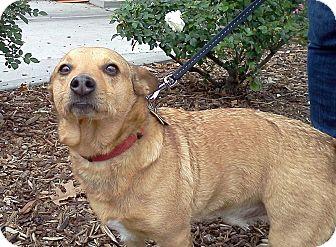 Corgi/Terrier (Unknown Type, Small) Mix Dog for adoption in Sacramento, California - Sammy