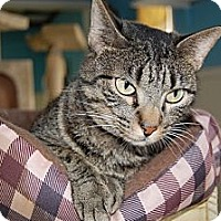 American Shorthair Cat for adoption in Jackson, Mississippi - Savannah