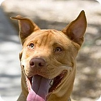 Adopt A Pet :: Toby - great big lug! - Phoenix, AZ