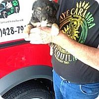 Adopt A Pet :: BCpuppy4 - Conway, AR