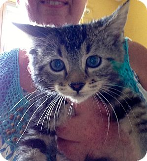 Maine Coon Kitten for adoption in Cincinnati, Ohio - Laptop & Linux: 7 weeks