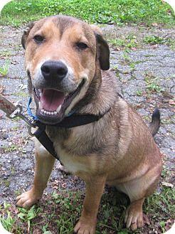 Rottweiler/German Shepherd Dog Mix Puppy for adoption in Oak Ridge, New Jersey - Bentley-URGENT
