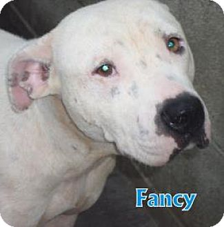 Bull Terrier Mix Dog for adoption in Georgetown, South Carolina - Fancy